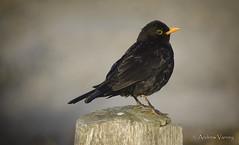 139/366 Morning has broken (andrew.varney) Tags: birds bird blackbird nature wildlife morning nikon animal d5100 365 366
