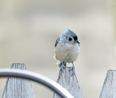Backyard Birds (tjk-photography) Tags: tuftedtitmouse photography nikon d500 bird northeast