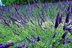Valensole 11 (mpetr1960) Tags: valensole france europe eu lavender flowers flower grass green nikon nikond800 d800
