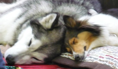 Doggone Tired (Teddi Beres) Tags: real life dog dogs sheltie husky fair cute sleep snooze rl