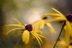 Last Dance (hploeckl) Tags: macro switzerland pentacon50mm18 nikon d750 botanicalgarden stgallen bokeh fall automn flowers yellow vintage
