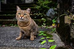 jewels (Kyoto) (Marser) Tags: xt10 fuji raw lightroom japan kyoto cat tabby stair