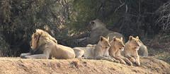 African lion, Panthera leo, a pride at Pilanesberg National Park, South Africa (Derek Keats) Tags: taxonomy:binomial=pantheraleo felidae pantheraleo nature taxonomy:family=felidae cats naturereserve carnivore africanlion predators carnivores