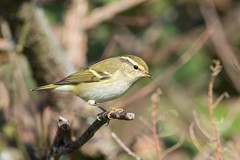 Yellow-browed Warbler (Phylloscopus inornatus) (angus molyneux) Tags: scilly stagnes yellowbrowedwarbler phylloscopus inornatus leaf warbler phylloscopusinornatus