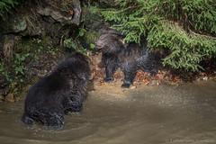 Beren04-7039 (Esther van Rooijen) Tags: bayerischerwald animals wildlife