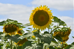 Tournesol droit parmi les fanns (Flikkersteph -4,000,000 views ,thank you!) Tags: rural landscape nature summer beautiful plantation sunflowers countryside fields clearsky champagneetfontaine prigord france
