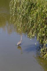 Urban Crane (urbsinhorto1837) Tags: bird chicago crane outdoors park washingtonpark water wildlife city urban