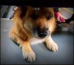Hello. (Papa Razzi1) Tags: 8188 2016 294365 dog crawler bus underseats undercover autumn october commuting icelandicsheepdog islndskvallhund