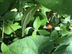 nature cocci (alexandrarougeron) Tags: nature coccinelle vert feuille