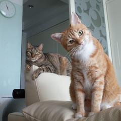 R0091102S (lazybonessss) Tags: ricohgrii ricoh cat kitten2 momo nana kitten