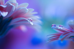 Blue atmosphere (Marilena Fattore) Tags: macro artistic canon tamron colors water waterdrops fantasy creativity nature closeup focus petals reflection light blue lightblue pink purple delicate softness flower garden atmosphere