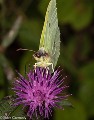 Common Brimstone (Gonepteryx rhamni) (M Carmody Photography) Tags: bogofallen gonepteryxrhamni markcarmodyphotography markcarmody bog brimstone butterflies butterfly canon carmo carmopolice carmopolis carmody gonepteryx ireland kildare lullymore mark peat insects macro peatland rare rhamni yellow mc7d4018 purple green antennae devils devilsbitscabious scabious plant food nectar conservation environment