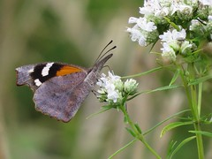 Winner by a 'nose'...or rather 'snout' being the case here... (Daisy Mai-ling) Tags: americansnout snout lepidoptera slendermtmint mint