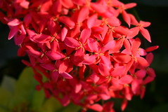 CSC_0427[1] (MonicaYPhotos) Tags: flower cluster clusteer beauty pics photo indianphotographer photographerindia color red random nature clicks photography people photoadd additional info
