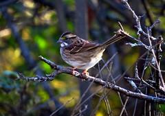 White-Throated Sparrow (4073) (lnmp_ny) Tags: sparrows whitethroatedsparrow birds autumn