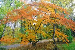 Japanese Maple (misi212) Tags: japanese maple
