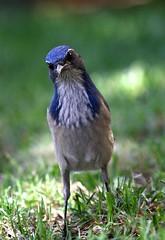 California Scrub-Jay (Joyce Waterman) Tags: phelocoma californica california scrubjay