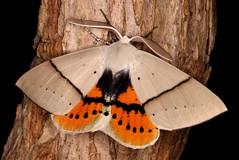 Gastrophora henricaria (Victor W. Fazio III) Tags: gastrophorahenricaria moth lepidoptera manningvalley inaturalist australia