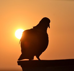 Pigeon at Golden Hour (Veena Nair Photography) Tags: dawn morning rockdovepigeon pigeon silhouette bird sunrise nature veenanairphotography india home light outdoor