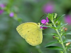 Find Beauty Everywhere (SivamDesign) Tags: canon eos 550d rebel t2i kiss x4 300mm tele canonef300mmf4lisusm fauna insect butterfly macro threespot grass yellow euremablanda