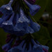 mertensia virginica, ouryard, jdy104 XX200904146552.jpg