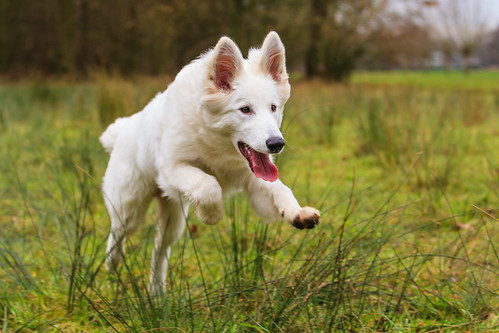 """White Shepherd • <a style=""""font-size:0.8em;"""" href=""""http://www.flickr.com/photos/56274740@N08/15362912663/"""" target=""""_blank"""">View on Flickr</a>"""