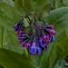 mertensia virginica, ouryard, jdy097 XX200904073972.jpg