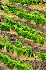 Ribeira Sacra - Galice - Espagne - 210 Canón do Sil - les vignes en terrasse (paspog) Tags: en spain vines wine canyon galicia vineyards vin vignes vignoble espagne sil spanien vins wein wines galice ribeirasacra terrasses weinen vignobles canón goges vigneenterrasse canóndosil gorgesdusil terracevignes