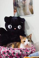20150125-DSC_0287 (Noelas) Tags: pet cat 50mm momo nikon taiwan mo 01 taipei 28 af nikkor dslr    ai    2015 f18d 50d d810 5018d nikonaiafnikkor50mmf18d nikond810