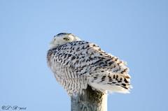do NOT disturb (PerfumeG2011 (on and off )) Tags: winter canada cold bird nature birds québec owls snowyowl buboscandiacus nikond7000 mirabelquébec lightroom5