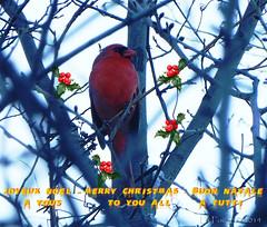 Du haut de son perchoir, le Cardinal rouge vous souhaite unJoYeUx Nol ! (La FoeZ') Tags: winter december cardinal hiver merrychristmas dcembre buonnatale 2014 cardinalis northerncardinal panasoniclumix joyeuxnol oiseaurouge cardinalerosso lafoz