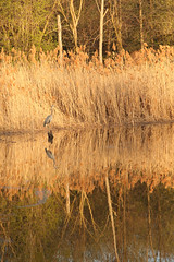 IMG_3545 (james_mills_57) Tags: lake nature water canon reflections golden montreal forests waterbirds nunsisland herron