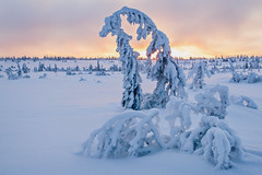 Snowsculptures (Fjällkantsbon) Tags: winter light sunset snow cold kyla march vinter sweden lappland january lapland gran birch björk sverige bog fen spruce snö sculptures midwinter mire solnedgång ljus sapmi skulpturer midvinter lågfjäll evamartensson brännåker blaikfjälletsnaturreservat blaikfjalletsnaturereserve