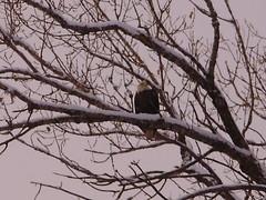 Eagle 2 (aeverett55) Tags: eagles baldeagles