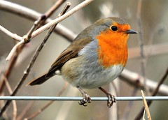 robin on fence (GVG Imaging) Tags: warwickshire sigma50500mm hamshall nikond3 ladywalknaturereserve bignma