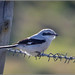 Great Grey Shrike - On a different wire!