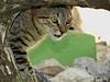 (Sarah-Vie) Tags: cat chat cuba gato img holguin 8126 leschatsdecuba