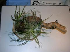 Cactus-Tillandsia-7a (cuirung) Tags: jade gollum haworthia airplant crassula felina faucaria perforata tigerjaw cactustillandsia bulbbolsa