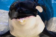 Hey ! It's my birthday ! (Saana Londono Photographie) Tags: life birthday park wild white black beautiful up animal animals trash mammal photography one marine funny flickr photographie close sandiego superb wildlife portait whale orca simply predator seaworld animaux shamu parc killerwhale magnifique photoshoots mammifre shouka orcinus brillant slideout prdateur orque orcean