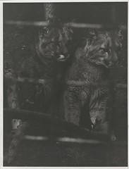 Two puma cubs (Chetham's Library) Tags: puma bellevue
