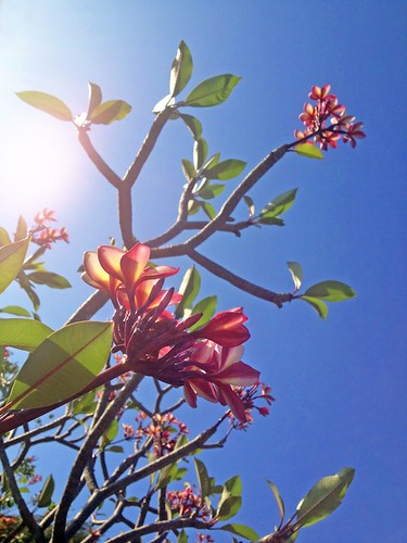 Red Frangipani and branches