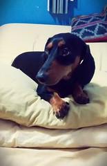 Nooki Nicols (Mayan_princess) Tags: cute eyes dachshund ojos hermoso mirada haustier spoiled teckel salchicha blackandbrown consen nookinicols cafynegro