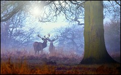 Early Morning Richmond Park (paulinuk99999 (lback to photography at last!)) Tags: park trees winter red mist stag richmond deer february 2015 fantasticnature paulinuk99999 sal70400g