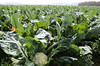 organic-cauliflower-harvest-02-19-15gt_DSC6845 (Jordan College of Ag Sciences and Technology) Tags: plant state science fresno cauliflower organic nitrogen josue cit leaching nitrate samano