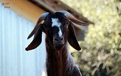 Billy (zeesstof) Tags: animals zoo goat goats wildanimals austinzoo austinvisit zeesstof rawhidetrail