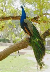 Indian Peacock (Pavo cristatus); Tucson, AZ, Reid Park Zoo [Lou Feltz (deserttoad) Tags: park arizona bird animal fauna zoo peacock behavior