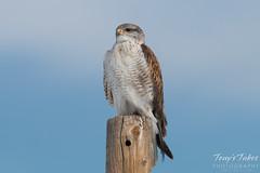 Posing Ferruginous Hawk