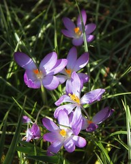Purple Crocus (mariannedeselle) Tags: flower bulb spring crocus