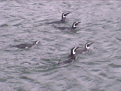Penguins at Sea