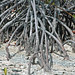 Mangroves along the shoreline of Storr's Lake (San Salvador Island, Bahamas) 5